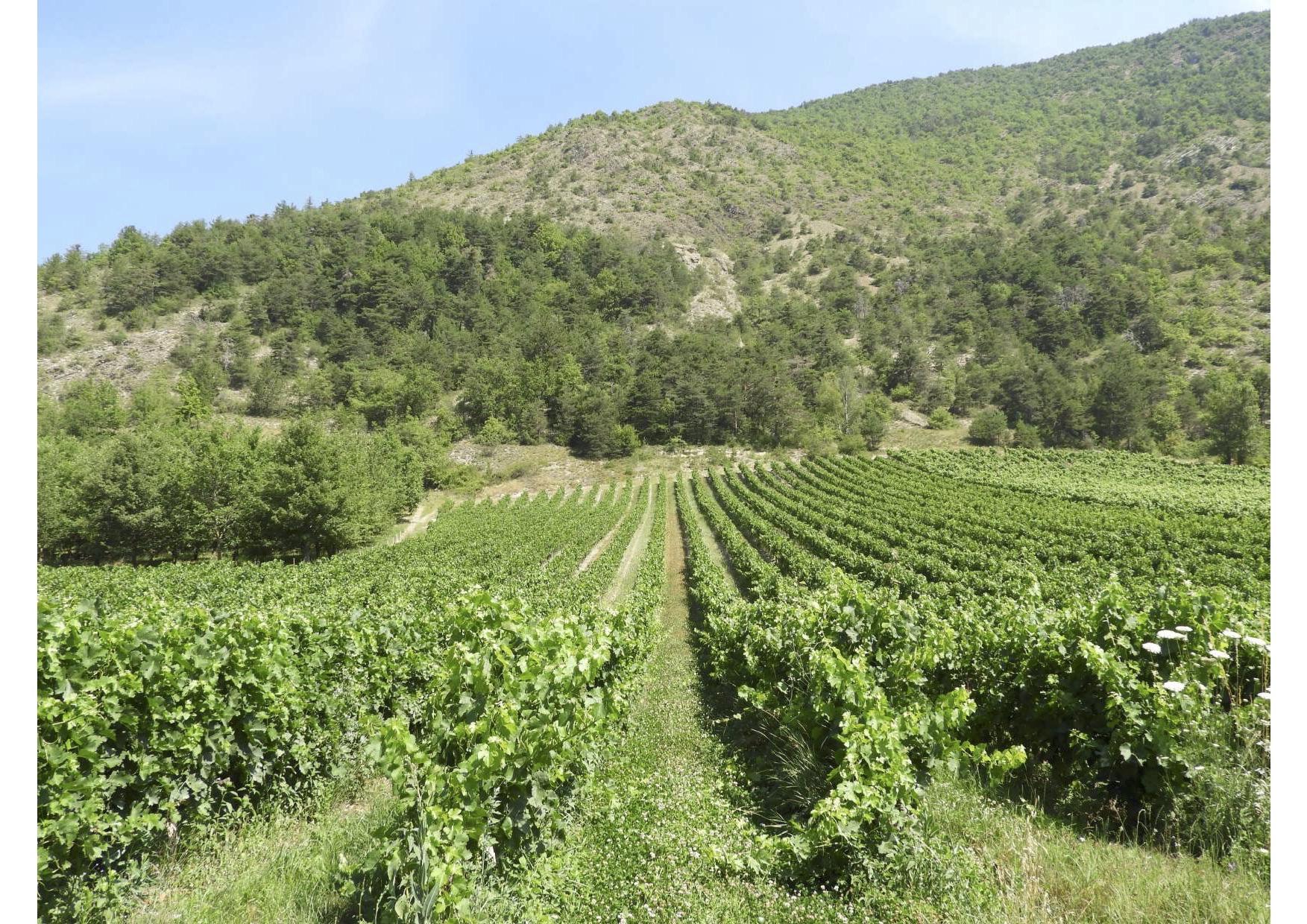 Vignes de la coopérative des hautes alpes, La Cave des Hautes Vignes
